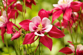 learn about nature summer flowers columbine learn about nature