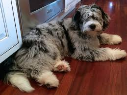 australian shepherd x poodle top 15 mock faked poodle cross breeds mix breeds