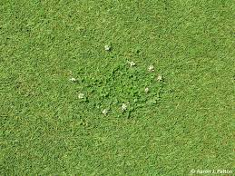 purdue turf tips weed of the month for october 2013 is white clover