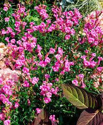 buy hardy perennials now snapdragons u0027pretty in pink u0027 bakker com