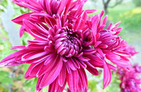 Chrysanthemum Reading The Yellow Chrysanthemum Flower Meaning And Symbol