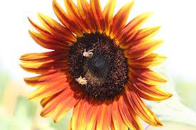 fafardflowers for honey bees