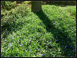Backyard Ground Cover Options Best 25 Periwinkle Ground Cover Ideas On Pinterest Periwinkle