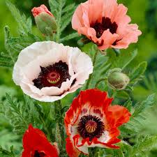 poppies flowers zyverden poppies mixed roots pack of 5 11380 the home depot