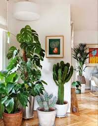 Indoor Decorative Trees For The Home The 25 Best Tall Indoor Plants Ideas On Pinterest Lounge