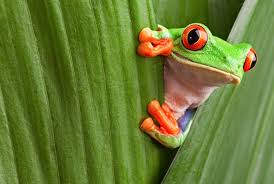 eyed tree frog facts
