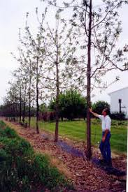 black walnut tree seedlings for sale genetically superior trees