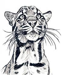 clouded leopard stare by silvercrossfox on deviantart