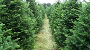 Christmas Tree Stop - looking for a christmas tree stop by shoppers world framingham