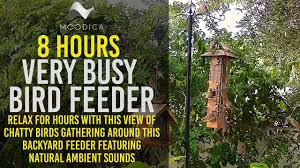 very busy bird feeder 8 hours chatty birds featuring natural