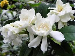 gardenia flowers free images blossom flower petal macro close