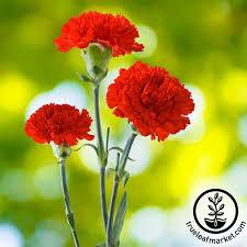 carnation flowers carnation cancan scarlet flower seed