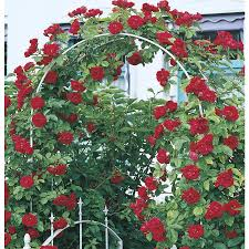shop climbing rose l10152 at lowes com