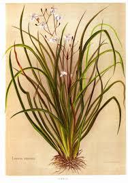 native nz plants native flowers of new zealand 1888 by georgina burne hetley nz