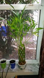 caring for lucky bamboo plants july newsletter flower shop network