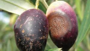Australasian Plant Disease Notes - olive research articles olivera