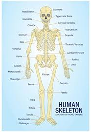 Anatomy Of The Human Skeleton Amazon Com Human Skeleton Anatomy Anatomical Chart Poster Print