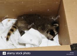 rescued baby raccoon sleeping in a box stock photo royalty free