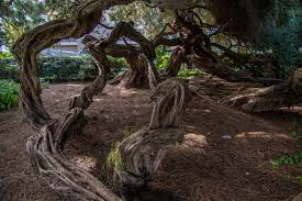 cool trees cool trees in balboa park san diego one of the us biggest public