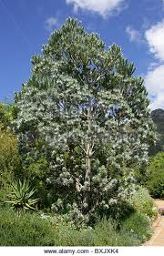silver tree protea stock photos silver tree protea stock images