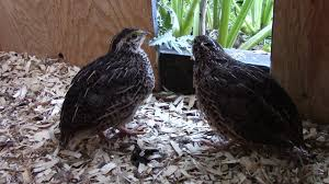 raising quail for meat with organic feed and meal worms youtube