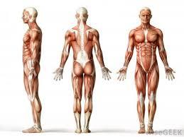 Google Body Anatomy The Language Of Anatomy Lovejoy Anatomy And Physiology