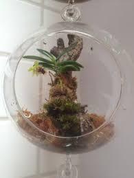 lepanthes telipogoniflora in hanging glass terrarium terrarium