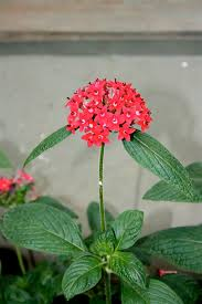Pentas Flower Pentas Lanceolata Wikipedia