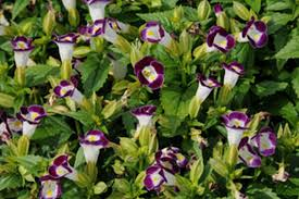 annuals for part to full shade beyond impatiens and petunias u
