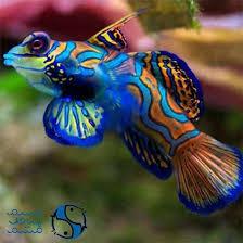 Buy Ornamental Fish تکثیر ماهی آب شور Saltwater Ornamental Fish Saltwater
