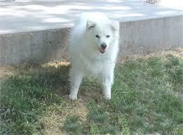 american eskimo dog rescue colorado american eskimo dog american eskimo dogs