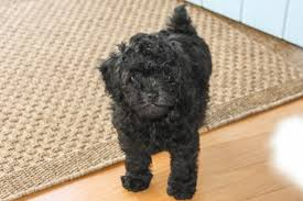 affenpinscher good bad the horsemeister blog sold puppies sold