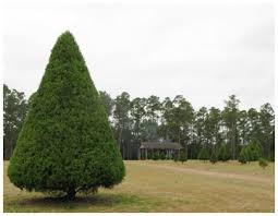 cut your own christmas tree at strickland davis tree farm walton