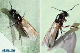 ameisen auf dem balkon fliegende ameisen so werden sie die plage los talu de
