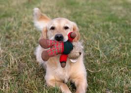 Comfort Retrievers For Adoption Golden Retriever Rescue Resource Foster A Golden Retriever