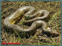 vidio film ular anaconda 25 best anaconda victor images on pinterest snakes anaconda snake