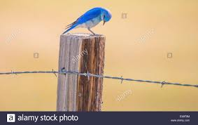 birds mountain blue bird perched on a fence post idaho state