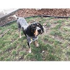 bluetick coonhound west virginia puppy bluetick coonhound for adoption