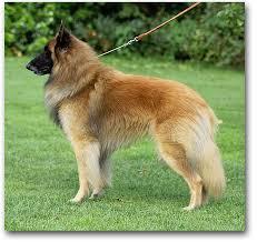belgian shepherd sydney corsini belgian shepherd dogs news