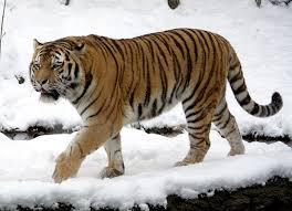 siberian tiger amur tiger facts for kids pictures habitat