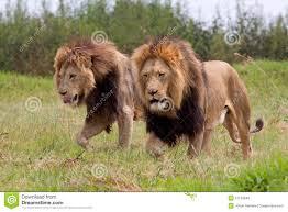 imagenes de leones salvajes gratis leones africanos salvajes foto de archivo imagen de carnívoro