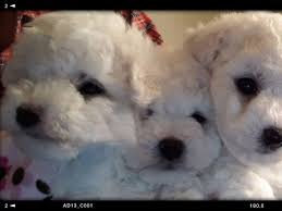 bichon frise breeders near me barb reynolds bichon frise puppies for sale