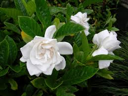 100 gardenia flower romantic flowers gardenia flower