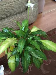 peace lily houseplants forum peace lily turning yellow garden org