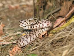 free picture glossy snake
