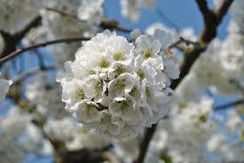 apple tree bloom wallpapers green apple tree free image peakpx