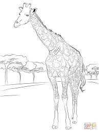 beautiful giraffe coloring page free printable coloring pages