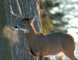When Do Deer Shed Their Antlers by Science Behind Shed Antlers U0026 Rack Trap Failure Legendary Whitetails
