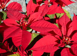 file 1 poinsettia 3 jpg wikimedia commons
