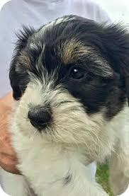 bluetick coonhound breeders indiana fort wayne in bluetick coonhound husky mix meet attis a puppy